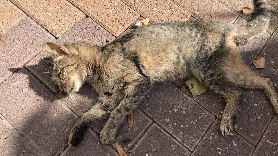 אחד החתולים שהורעלו למוות ברחוב סוקולוב בחולון. צילום: בן הרוש פייסבוק