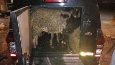 Photo of ברמלה: אמש נעצר גבר שהוביל 8 כבשים בתא מטען בתנאים של צפיפות ומחנק קשים. בירור קצר העלה שגם גנב אותן
