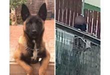 """Photo of במבצע מיוחד: המשטרה החזירה את פאודה הכלבה שנגנבה מחצר בית בעליה בת""""א ועצרה את הגנבים"""