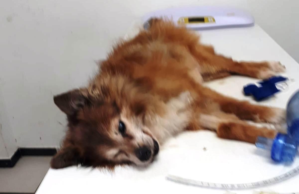 Photo of אירית צעקה והתחננה לבעלי הכלב ההאסקי שלא ייתנו לו להיכנס לגינה, אך זה לא עזר, ההאסקי נכנס והרג את הכלב שלה, טוי