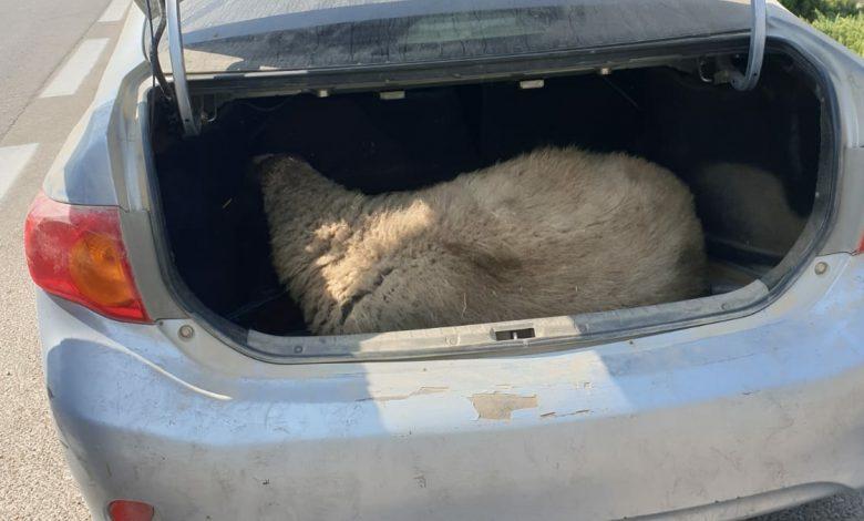 Photo of נתפס נוהג במהירות במודיעין ובתא המטען של הרכב נמצאה כבשה, בתנאים קשים ואכזריים