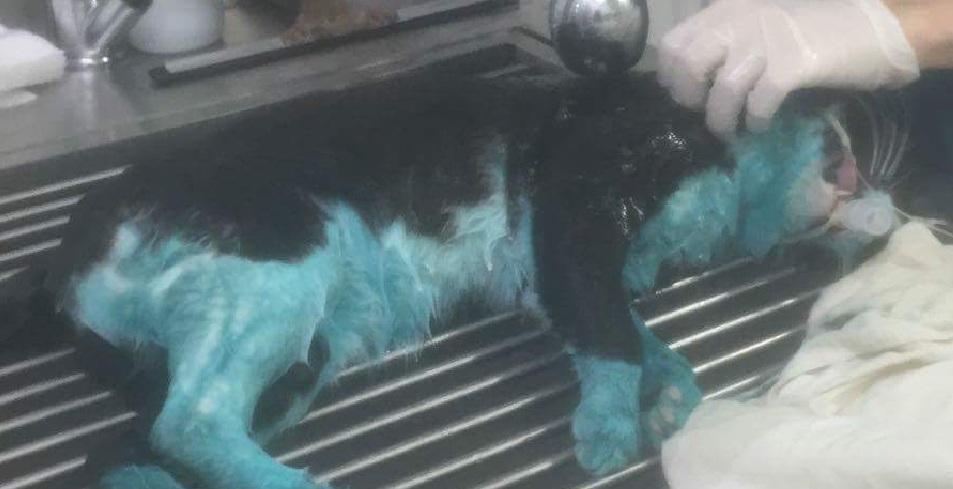 Photo of תופעה בפלורנטין: בתוך שבוע נמצא חתול שלישי שנצבע בכחול וירוק. התושבים מתגייסים לעזרתם. הוגשה תלונה במשטרה