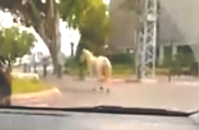 Photo of צפו: פקחי השיטור העירוני עצרו סוס שדהר ברחבי העיר כפר סבא