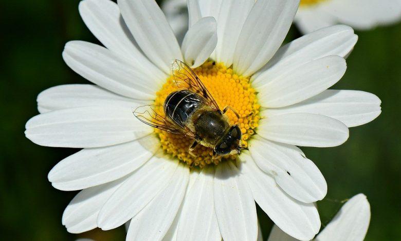 דבורה צילום פיקסביי pixbay