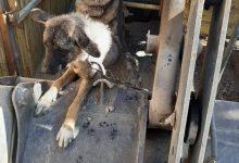 Photo of השוטרים חילצו כלב שעבר התעללות והזנחה קשה בבית בג'סר א זרקא