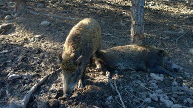 Photo of עיריית חיפה נתנה השבוע למספר תושבים קנסות של 730 שקל, לאחר שהאכילו חזירי בר או הותירו מזון בשטח