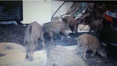 החזירים השתלטו על רחובות חיפה לאור יום. צילום: שרון סייטלבך