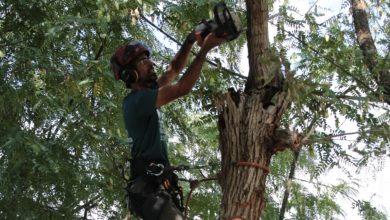 Photo of מבצע גיזום ושיקום מיוחד של העצים ברחבי קריית אתא