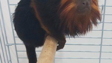 Photo of 3 תושבי קריית אתא נעצרו לאחר שגנבו קוף מגן החיות בקריית מוצקין, במטרה למכור אותו באלפי שקלים