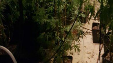 Photo of נתפסה מעבדה לגידול סמים עם שתילי מריחואנה בשווי מוערך של למעלה מ-250,000 ₪