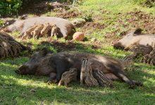חזירות מיניקות בשמש.. צילום גילי שגב
